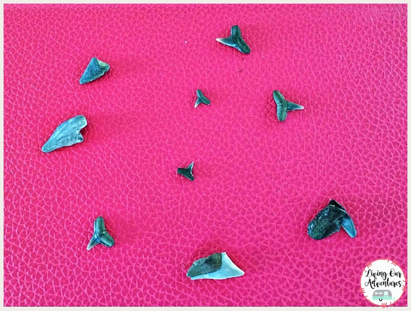 Calvert Cliffs State Park MD, sharks teeth
