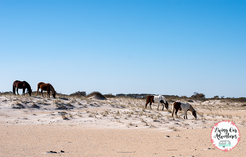 Assateague Island a Summer Adventure Must!